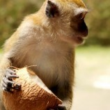 داستان ضرب المثل میمون پیر دستش را داخل نارگیل نمی کند
